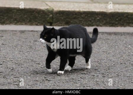 London, UK. 6th Feb, 2017. Foreign office cat Palmerston in Downing Street. Credit: Dinendra Haria/Alamy Live News - Stock Photo