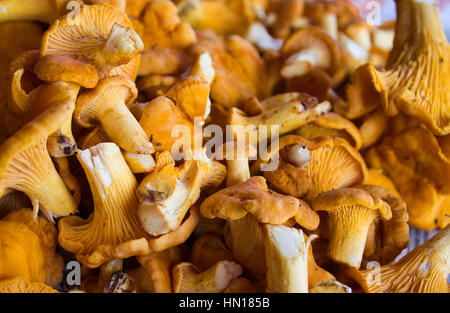 Chanterelle mushrooms on a moss in the wood.. Large number Background - Stock Photo