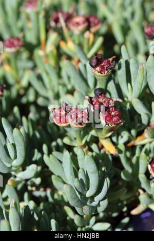 Close up of Mesembryanthemum Blueberry Rumble or known as Lampranthus Blueberry seeds - Stock Photo