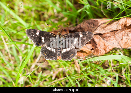 Second brood Map butterfly, Araschnia levana, basking on dead leaf in sunshine with wings open - Stock Photo