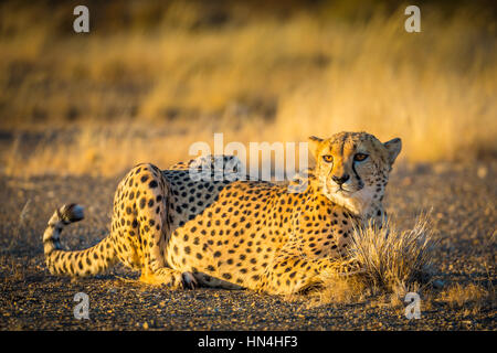 The cheetah (Acinonyx jubatus), also known as the hunting leopard, is a big cat that occurs mainly in eastern and - Stock Photo