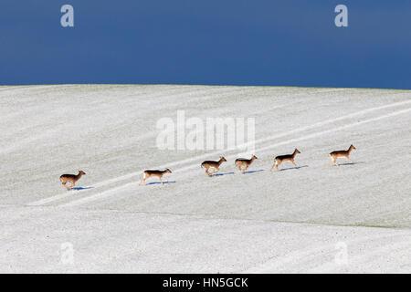 Fallow deer (Dama dama) herd crossing field in the snow in winter - Stock Photo