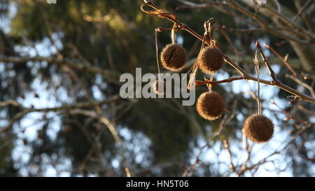 Chestnuts hanging from a branch - Stock Photo