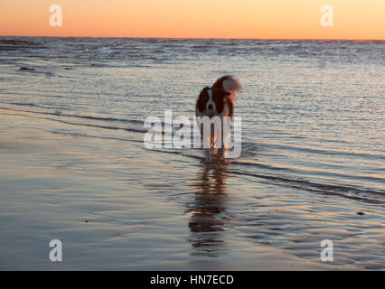 Border Collie dog playing in the sea at sunrise - Stock Photo
