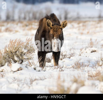 Bull moose that has lost antlers digging in deep snow for food - Stock Photo
