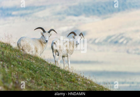 Two Dall's sheep (Ovis dalli) rams stand on a steep green mountainside against the distant valley in Denali National - Stock Photo