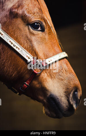 Closeup of brown horse face with bridle - Stock Photo