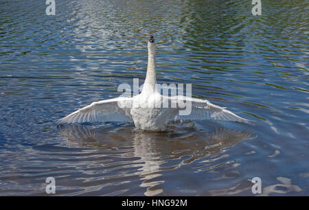 Mute Swan Spreading its wings out - Stock Photo