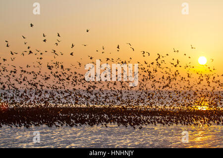 Blackpool, Lancashire, UK. 13th Feb, 2017. UK Weather. Thousands of starlings descend onto to the sunlit beach on - Stock Photo