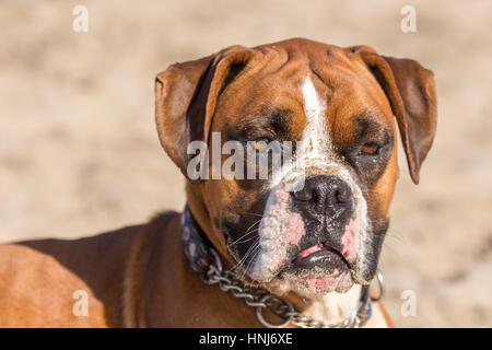 Fawn Brindle German Boxer Headshot - Stock Photo