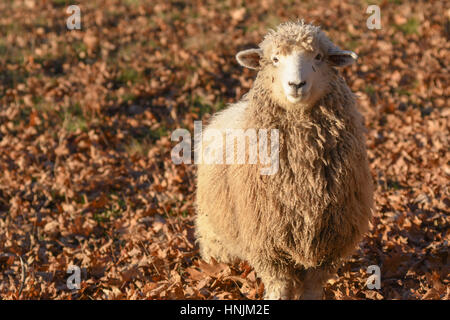 A sheep among dead leaves in the early morning light - Stock Photo