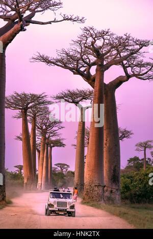 Twilight Driving - Avenue de Baobab Madagascar - Stock Photo