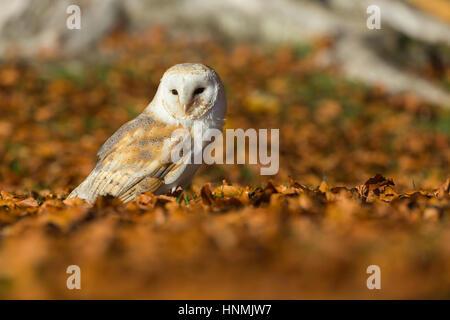 Barn owl Tyto alba (captive), adult female, resting amongst beech leaves, Hawk Conservancy Trust, Hampshire, UK - Stock Photo