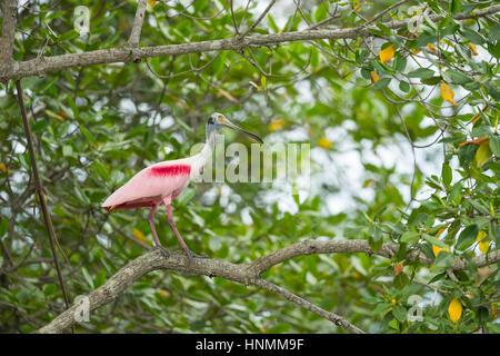 Roseate spoonbill Platalea ajaja, adult, perched in tree canopy, Churute Mangroves Ecological Reserve, Ecuador in - Stock Photo