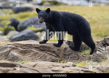 Wild Black Bear (Ursus americanus) on rocky beach clambering through the rocks. Vancouver Island, British Columbia, - Stock Photo