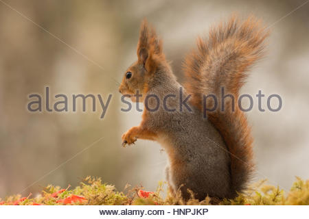 close up of a red squirrel on moss watching away - Stock Photo