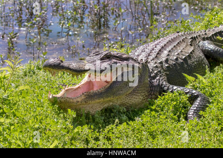 alligator with open mouth in the green grass - Stock Photo