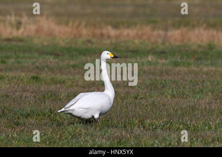 Tundra swan (Cygnus columbianus) / Bewick's swan (Cygnus bewickii) foraging in meadow - Stock Photo