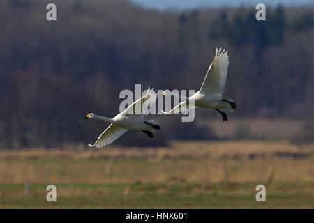 Two tundra swans (Cygnus columbianus) / Bewick's swans (Cygnus bewickii) landing in grassland in spring - Stock Photo