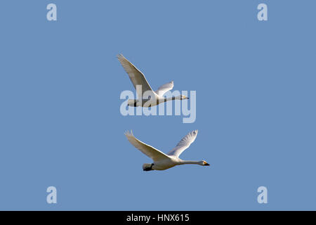 Two tundra swans (Cygnus columbianus) / Bewick's swan (Cygnus bewickii) in flight against blue sky - Stock Photo