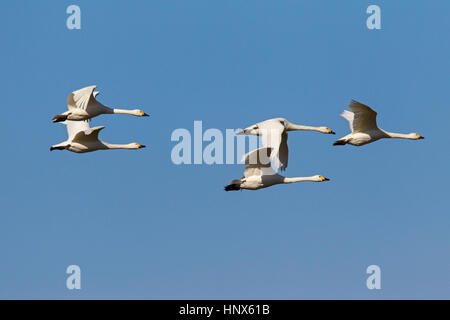 Tundra swans (Cygnus columbianus) / Bewick's swans (Cygnus bewickii) flock in flight against blue sky - Stock Photo
