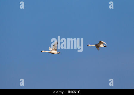 Two tundra swans (Cygnus columbianus) / Bewick's swans (Cygnus bewickii) in flight against blue sky - Stock Photo