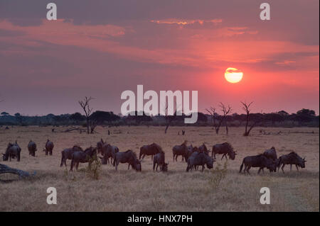 Sunset landscape with herd of grazing wildebeest ( Connochaetes taurinus) , Savuti marsh, Chobe National Park, Botswana - Stock Photo
