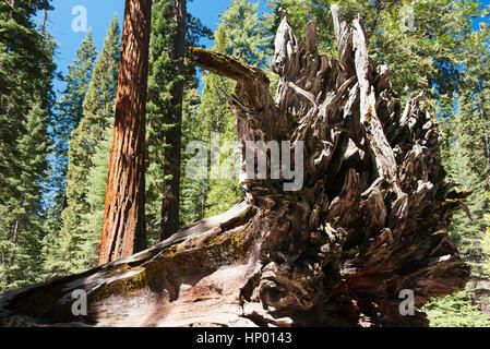 Fallen tree in giant sequoia grove, Yosemite National Park, California, USA - Stock Photo