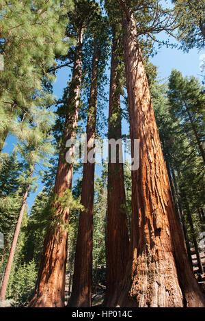 Giant sequoias, Yosemite National Park, California, USA - Stock Photo