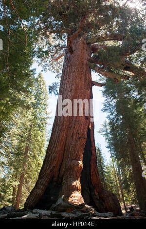 Giant sequoia tree, Yosemite National Park, California, USA - Stock Photo