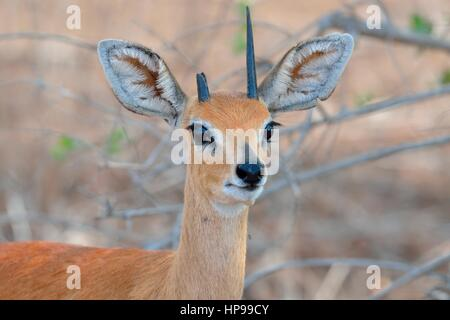 Steenbok (Raphicerus campestris), adult male with broken horn, Kruger National Park, South Africa, Africa - Stock Photo