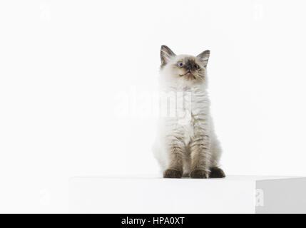 Junge Katze, Ragdoll Rassekatze - Stock Photo