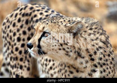 Amazing wild African Cheetah in the savannah of Namibia - Stock Photo