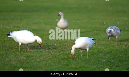 Snow Geese stopping over at Parksville BC to take the opportunity to feed and build on their energy levels before - Stock Photo