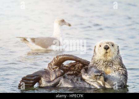 Southern Sea Otter and Gull - Stock Photo
