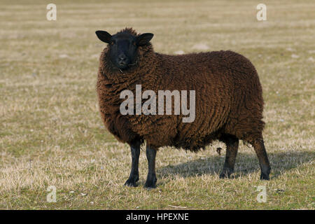 East Friesian / Schwarz-Braun Ostfriesische Milchschaf, breed of dairy sheep originating from East Frisia in northern - Stock Photo