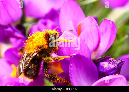 Leeds, UK. 21st February 2017. With storm Doris forecast for Thursday this bee was taking an opportunity to gather - Stock Photo