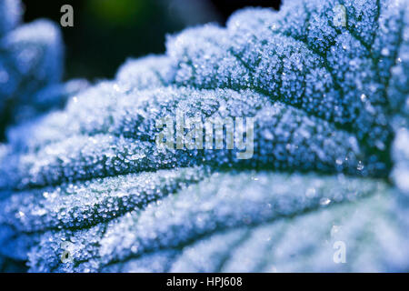 Frosted leaves - Stock Photo