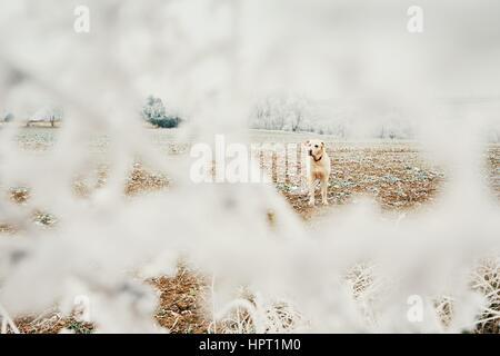 Frosty day with dog. Labrador retriever on the walk in rural landscape. - Stock Photo