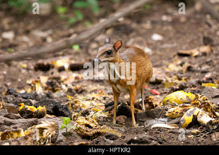 Thailand, Petchaburi Province, portrait of Java mouse deer - Stock Photo