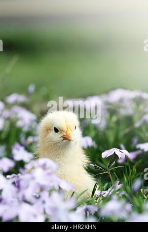 Curious little chick peeking above a bed of lavendar colored spring flowers. Extreme shallow depth of field with - Stock Photo