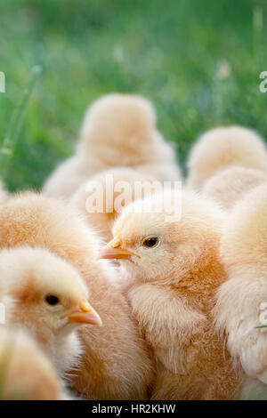 Little Buff Orpington chicks sitting huddled together in the grass. Extreme shallow depth of field. Selective focus - Stock Photo