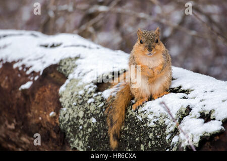 Fox Squirrel - Stock Photo