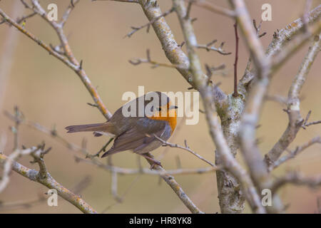 Portrait of natural european robin (Erithacus rubecula) sitting on a branch - Stock Photo