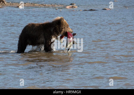 A wild brown bear eats fish in natural habitat - Stock Photo