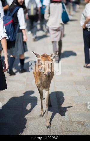 Deer walking among people in Todaiji Temple, Nara, Japan - Stock Photo