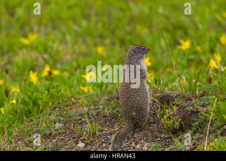 Columbian Ground Squirrel (Spermophilus columbianus) looking for danger in Glacier National Park, MT, USA - Stock Photo