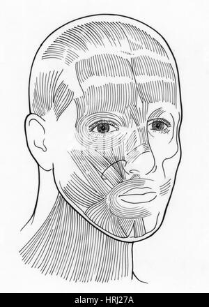 Illustration of Facial Muscles - Stock Photo
