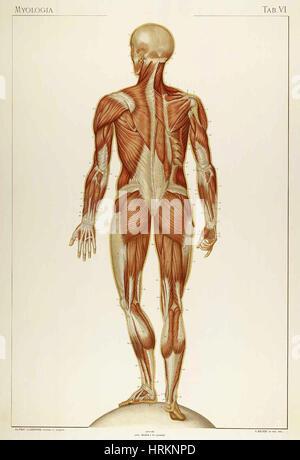 Historical Anatomical Illustration - Stock Photo