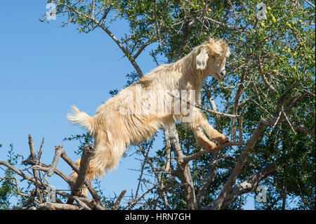 Moroccos famous Goats in the Argan Trees on the road between Marrakesh (Marrakech) and Essaouira - Stock Photo